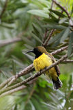 Sunbird Olive-desserré par mâle de repos Images libres de droits
