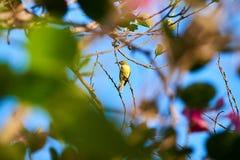 sunbird Olive-desserré, sunbird Jaune-gonflé images libres de droits