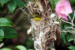 Sunbird Olive-Desserr? par femelle Photo stock