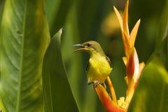 SUnbird onder heliconia Royalty-vrije Stock Afbeeldingen