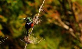 Sunbird på en vass royaltyfria foton