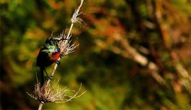 Sunbird på en vass arkivfoton