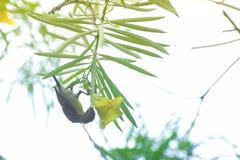 Sunbird púrpura, asiaticus de Cinnyris, sentándose en rama de árbol Foto de archivo