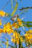 Sunbird púrpura femenino encima de una flor amarilla foto de archivo libre de regalías