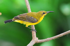 Sunbird On A Perch Royalty Free Stock Photo