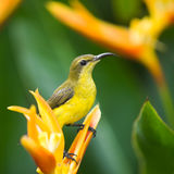 Sunbird Perched on Heliconia. Female sunbird perched on a heliconia flower hidden behind its dense broad deep green leaves Stock Photos