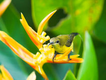 Sunbird Perched on Heliconia. Female sunbird perched on a heliconia flower hidden behind its dense broad deep green leaves Stock Photography