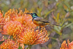 Sunbird on Pincushion. Orange Breasted Sunbird perched on a Pincushion flower Royalty Free Stock Photography