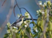 Sunbird porpora fotografie stock libere da diritti
