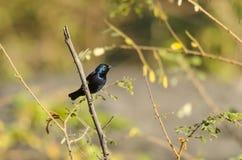 Sunbird porpora immagine stock