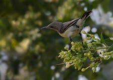 Sunbird porpora (Nectarinia asiatica) Immagini Stock Libere da Diritti
