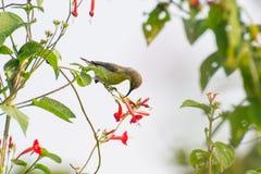 Sunbird pourpre photo stock