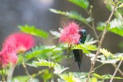 Sunbird pourpre alimentant sur le nectar photo libre de droits