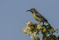 Sunbird pourpre (Nectarinia asiatica) Photographie stock