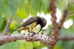 Sunbird ptak Zdjęcie Stock