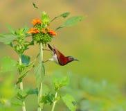 Sunbird ptak, zielony tło Obrazy Stock