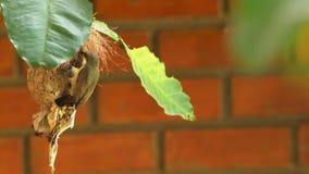 Sunbird que alimenta seus bebês vídeos de arquivo
