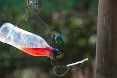 Sunbird que bebe de una botella de agua Fotos de archivo