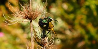 Sunbird on a reed royalty free stock image