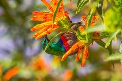 Sunbird-, Roter und Blauerkasten, der auf orange Blume einzieht Stockbilder