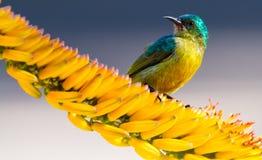 Sunbird sätta sig på aloeblomman Royaltyfri Foto
