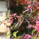 Sunbird in sakura tree Royalty Free Stock Images