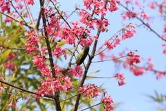 Sunbird in sakura tree Stock Images