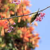 Sunbird  and sakura tree Royalty Free Stock Images