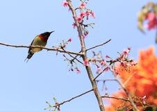 Sunbird  and sakura tree Royalty Free Stock Photography