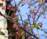 Sunbird  and sakura tree Stock Photography