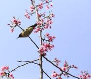Sunbird  and sakura tree Stock Images