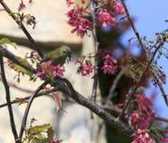 Sunbird  and sakura tree Stock Photos