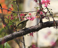 Sunbird  in sakura tree Royalty Free Stock Image