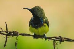 Sunbird Stock Image