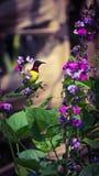 Sunbird in slaboneninstallaties Stock Foto