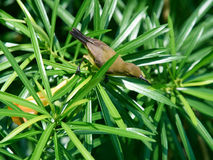 Sunbird soutenu par l'olive sur une branche, femelle photos stock