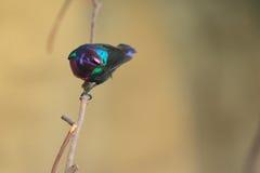 Sunbird splendide Photographie stock