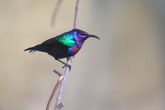 Sunbird splendide Images libres de droits
