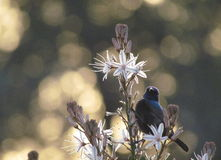 Sunbird in Sunset. A male  Sunbird feeding on a common asphodel with a sunset in the background Stock Photo