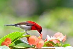 Sunbird tão bonito imagem de stock