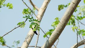 Sunbird on the tree shoot. Sunbird is eating something from the tree leaf and fly away stock video