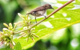 Sunbird tropical foto de stock royalty free