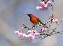 Sunbird van Gould Royalty-vrije Stock Foto