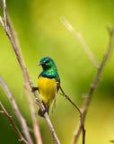 Sunbird variável Fotos de Stock Royalty Free