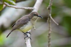 Sunbird variabile Fotografia Stock