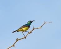 Sunbird variable Photo stock