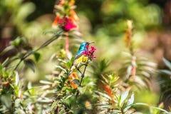 Sunbird variable que se sienta en una rama de un árbol fotos de archivo