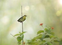 Sunbird viola Nectarinia asiatica fotografia stock libera da diritti