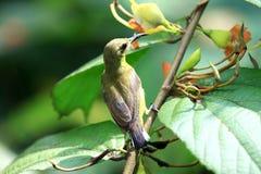 Sunbird Yellow-bellied foto de archivo libre de regalías