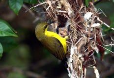 Sunbird Yellow-Bellied femenino Fotos de archivo libres de regalías